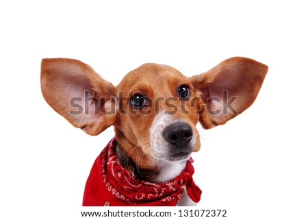 Beagle puppy with his ears up - stock photo