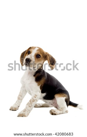 Beagle puppy with its ear up - stock photo