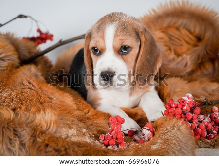 Beagle puppy with red berries - stock photo