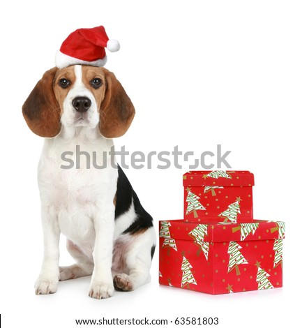 Beagle puppy with Santa hat and Christmas gifts. Isolated on a white background - stock photo