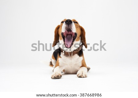 Beagle puppy, yawning in front of white background - stock photo