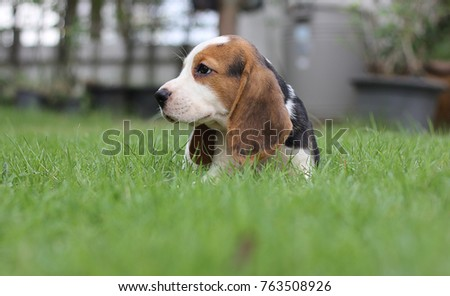 Simple Small Beagle Adorable Dog - stock-photo-beagle-sitting-on-grass-beagle-early-in-the-morning-at-sunrise-seven-weeks-old-cute-little-puppy-763508926  Gallery_62897  .jpg