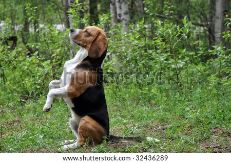 Beagle, sitting on the butt