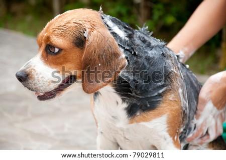 beagle take a shower - stock photo