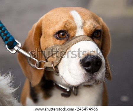 Beagle, working dogs for hunting and used by custom officers and police as sniffer or detector dogs for drugs and illegal contraband.  - stock photo