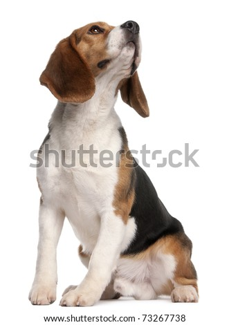 Beagle, 1 year old, sitting and looking up in front of white background - stock photo