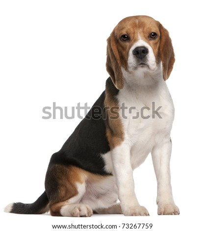 Beagle, 1 year old, sitting in front of white background - stock photo