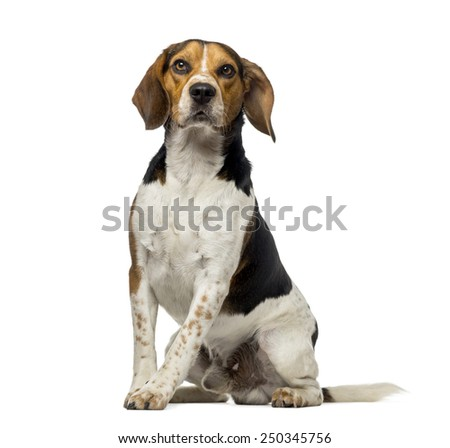 Beagle (3 years old) - stock photo