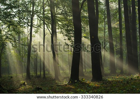 Beams of light in the morning forest