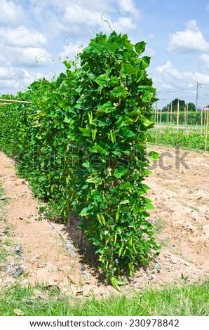 Bean farmer - stock photo