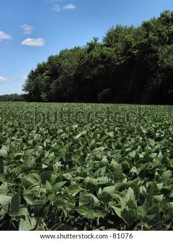 Bean field in Summer - stock photo