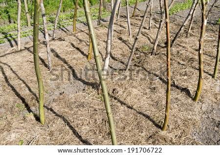 Bean poles in the organic vegetable garden Groentenhof in Leidschendam, Netherlands . - stock photo