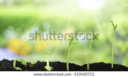 Bean seed germination different stages on nature background - stock photo