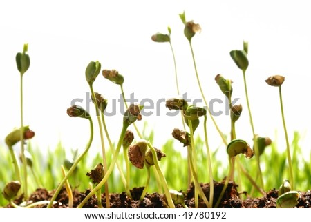 bean seed germination with soil isolated on white - stock photo