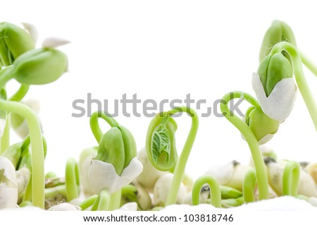Bean seeds germination isolated on white background - stock photo