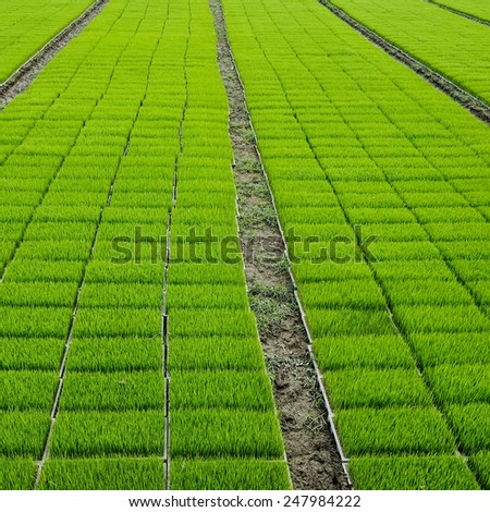 bean sprout field - stock photo