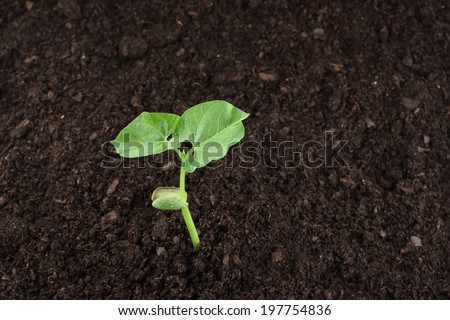 bean sprout in soil - stock photo