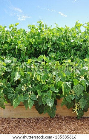 Beans and Peas in a raised garden bed - stock photo
