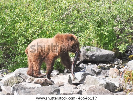bear baby with large salmon