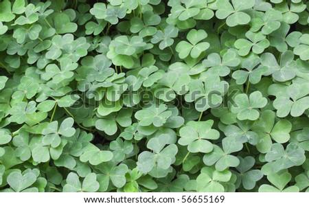 Bear Clover Leaf Green - stock photo