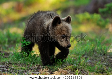 Bear cub walking in forest - stock photo