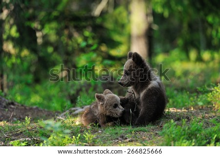 Bear cubs playing - stock photo