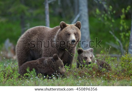 Bear cubs with their mother she-bear in the summer forest. Bear family of Brown Bear (Ursus arctos).
