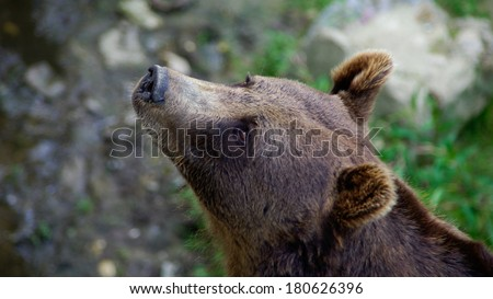 Bear head close up, detailed portrait isolated - stock photo