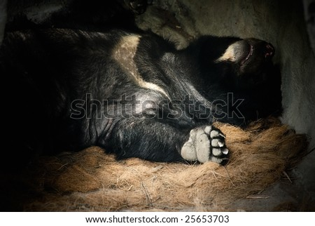 Bear in black down and sleep.