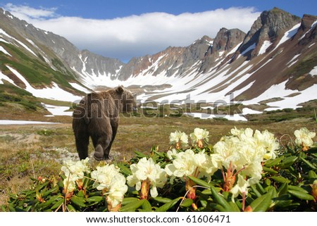 bear in crater of the vulcan amongst flowers and snow - stock photo