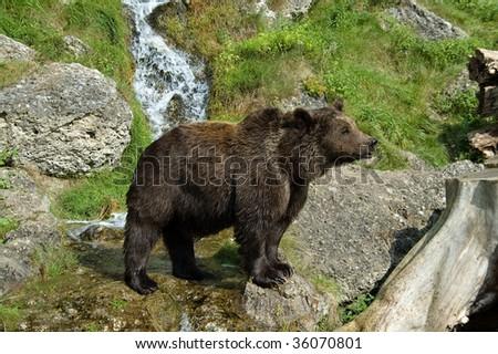 Bear in Hellbrunn Park, Salzburg - stock photo