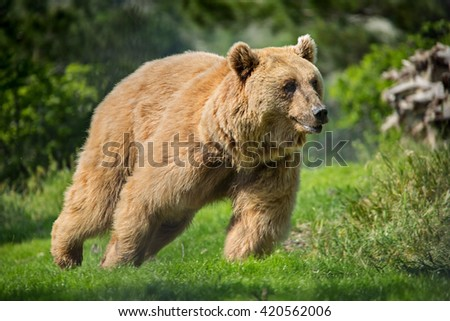 Bear in the forest - stock photo