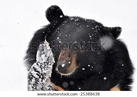 bear in winter during snowfall - stock photo