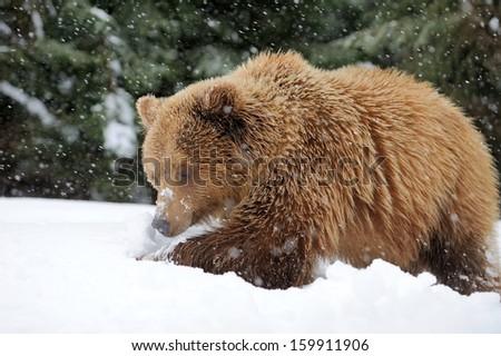bear hibernating stock images royalty free images. Black Bedroom Furniture Sets. Home Design Ideas