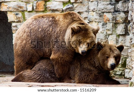 bear love each other - stock photo