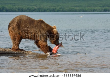 Bear's lunch - stock photo