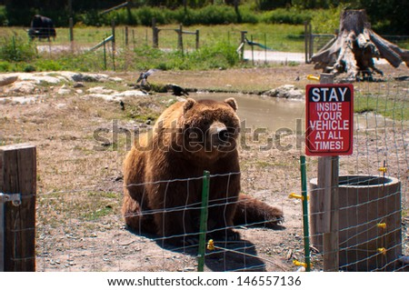 Bear sitting behind the wire fence at the Olympic wildlife zoo,  game farm