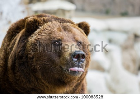Bear sticking his tongue out.