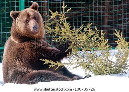 Bear (Ursus arctos) in the winter, Carpathians, Ukraine - stock photo