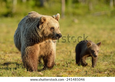 Bear with cub in the bog - stock photo