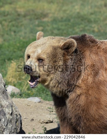 bear with mouth open - stock photo