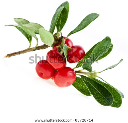 Bearberry ( Arctostaphylos Officinalis ) isolated