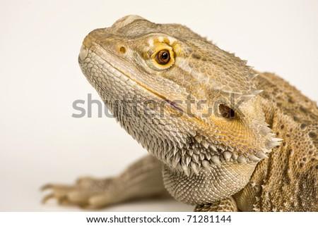 Bearded Agama,Dragon - stock photo