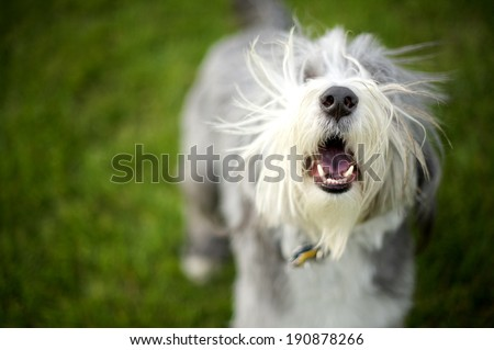 Bearded Collie Barking ready to play fetch�Momo barks wildly until the ball is dispatched for him... - stock photo