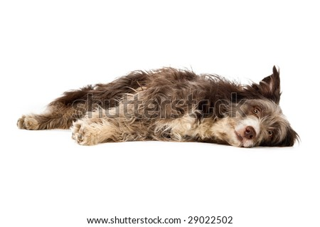 Bearded collie dog isolated on a white background