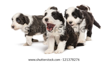Bearded Collie puppies, 6 weeks old, sitting, standing. Focus on the yawning puppy against white background