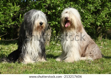Bearded Collie sitting together in the garden