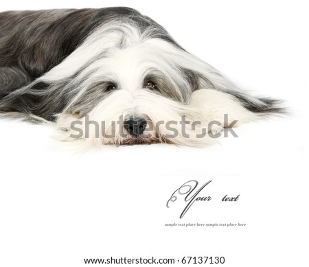 Bearded Collie, 4 years old, of white background - stock photo