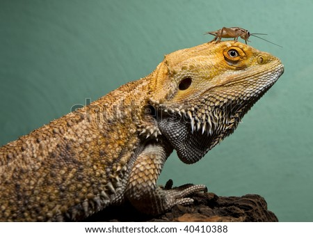 Bearded dragon and cricket