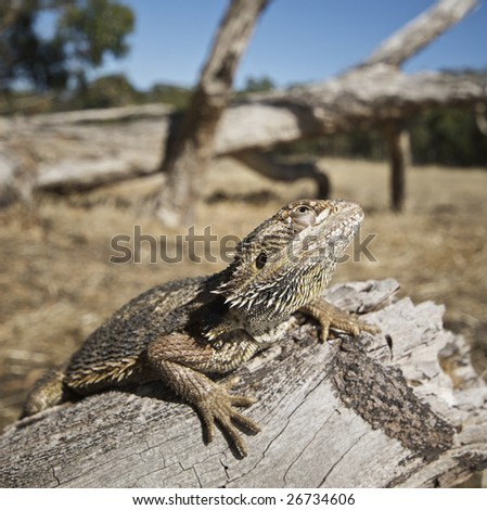 Bearded Dragon in natural environment on log